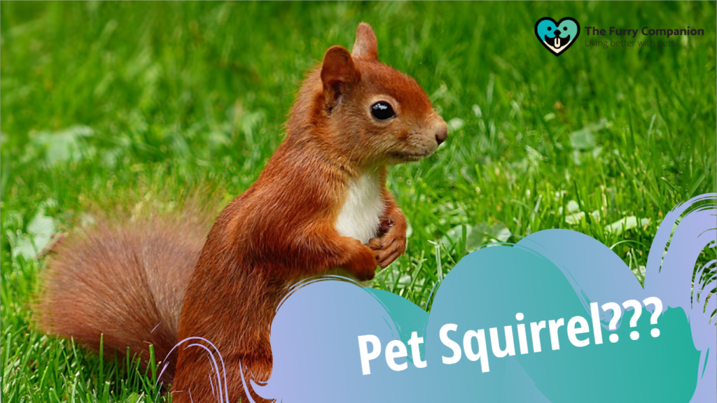 pet squirrel