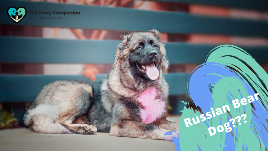 image: russian bear dog; source: https://www.flickr.com/photos/161894595@N03/46759737714/in/photostream/ (image is edited)