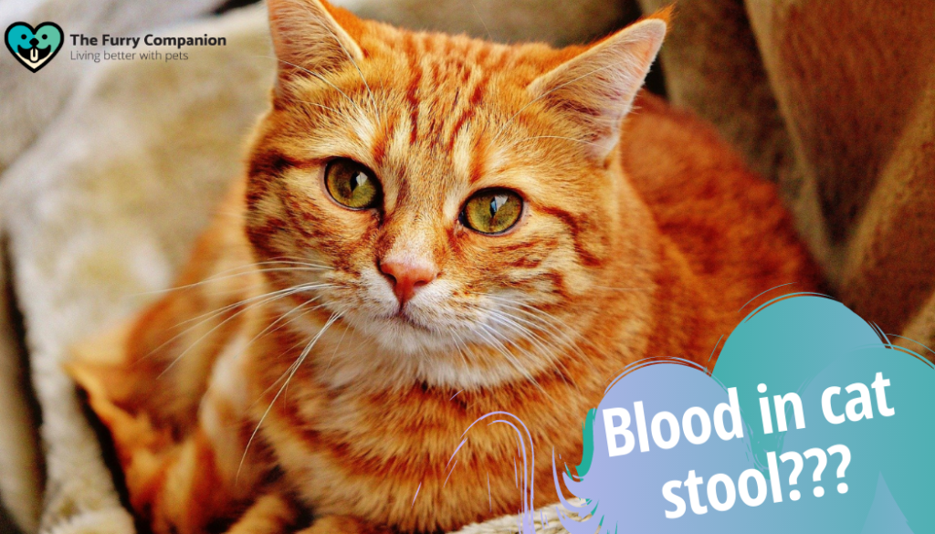 blood in cat stool